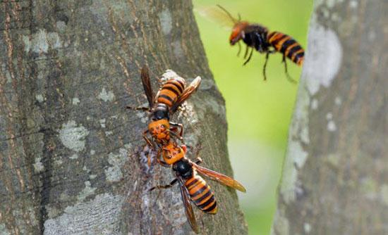 زنبور قرمز غول پیکر آسیایی