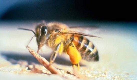 زنبور قاتل